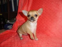 рыжие щенки чихуахуа фото